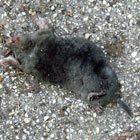 Een dode mol - Foto: Arnoud de Jong